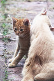 Άσπρο και κίτρινο αρσενικό άτακτο γατάκι και mom Στοκ Φωτογραφίες