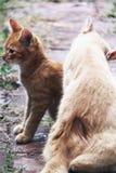 Άσπρο και κίτρινο αρσενικό άτακτο γατάκι και mom Στοκ Φωτογραφία