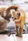 Άσπρο και κίτρινο αρσενικό άτακτο γατάκι Στοκ φωτογραφίες με δικαίωμα ελεύθερης χρήσης