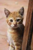 Άσπρο και κίτρινο αρσενικό άτακτο γατάκι Στοκ εικόνες με δικαίωμα ελεύθερης χρήσης