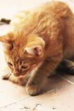 Άσπρο και κίτρινο αρσενικό άτακτο γατάκι Στοκ Εικόνες