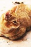 Άσπρο και κίτρινο αρσενικό άτακτο γατάκι Στοκ φωτογραφία με δικαίωμα ελεύθερης χρήσης