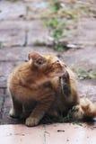 Άσπρο και κίτρινο αρσενικό γατάκι Στοκ Εικόνες