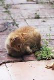 Άσπρο και κίτρινο αρσενικό γατάκι Στοκ φωτογραφία με δικαίωμα ελεύθερης χρήσης