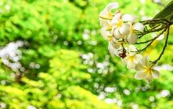 Άσπρο και κίτρινο λουλούδι Plumeria στο δέντρο Plumeria με το μαγικό φως αστραπής bokehs μέσω του θάμνου ως υπόβαθρο στο πάρκο Στοκ εικόνες με δικαίωμα ελεύθερης χρήσης