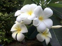 Άσπρο και κίτρινο λουλούδι plumeria Στοκ εικόνα με δικαίωμα ελεύθερης χρήσης