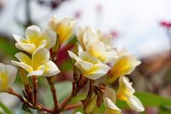 Άσπρο και κίτρινο λουλούδι plumeria Στοκ Εικόνες