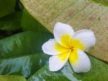 Άσπρο και κίτρινο λουλούδι plumeria Στοκ φωτογραφία με δικαίωμα ελεύθερης χρήσης