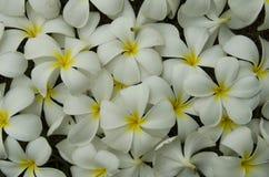 Άσπρο και κίτρινο σχέδιο των λουλουδιών plumeria Στοκ εικόνα με δικαίωμα ελεύθερης χρήσης
