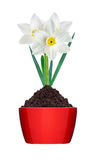 Άσπρο και κίτρινο χρώμα daffodil στο έδαφος στο κόκκινο δοχείο που απομονώνεται Στοκ Φωτογραφία
