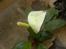 Άσπρο και κίτρινο Anthurium χρώματος λουλούδι Στοκ φωτογραφίες με δικαίωμα ελεύθερης χρήσης