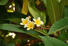 Άσπρο και κίτρινο frangipani plumeria Στοκ φωτογραφίες με δικαίωμα ελεύθερης χρήσης