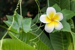 Άσπρο και κίτρινο plumeria ή frangipani λουλουδιών με το φρέσκο coccin Στοκ Εικόνες