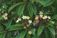 Άσπρο και κίτρινο plumeria λουλουδιών υπόβαθρο φύλλων κήπων πράσινο Στοκ εικόνα με δικαίωμα ελεύθερης χρήσης