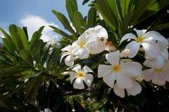 Άσπρο και κίτρινο plumeria λουλουδιών Frangipani Στοκ Φωτογραφίες