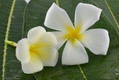 Άσπρο και κίτρινο plumeria λουλουδιών Στοκ φωτογραφία με δικαίωμα ελεύθερης χρήσης
