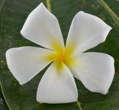 Άσπρο και κίτρινο plumeria λουλουδιών Στοκ εικόνες με δικαίωμα ελεύθερης χρήσης