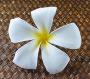 Άσπρο και κίτρινο plumeria λουλουδιών Στοκ εικόνα με δικαίωμα ελεύθερης χρήσης