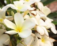 Άσπρο και κίτρινο Plumeria σε φυσικό Στοκ Εικόνα