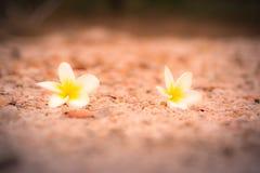 Άσπρο και κίτρινο plumeria και όμορφο μαλακό φως στο έδαφος στο τοπικό πάρκο Φαίνεται φωτεινός και όμορφος Στοκ φωτογραφία με δικαίωμα ελεύθερης χρήσης