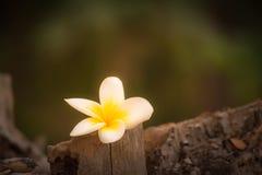 Άσπρο και κίτρινο plumeria και όμορφο μαλακό φως στο έδαφος στο τοπικό πάρκο Φαίνεται φωτεινός και όμορφος Στοκ Εικόνα