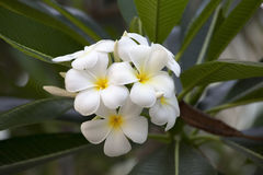 Άσπρο και κίτρινο Plumeria Στοκ Εικόνες