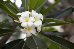 Άσπρο και κίτρινο Plumeria Στοκ φωτογραφίες με δικαίωμα ελεύθερης χρήσης