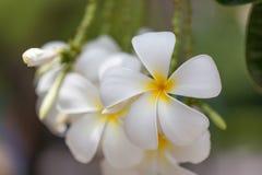 Άσπρο και κίτρινο Plumeria SSP (λουλούδια frangipani, Frangipani, Στοκ Εικόνα