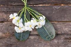 Άσπρο και κίτρινο Plumeria SSP (λουλούδια frangipani, Frangipani, Στοκ εικόνες με δικαίωμα ελεύθερης χρήσης
