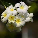 Άσπρο και κίτρινο Plumeria SSP Στοκ Εικόνες