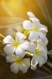 Άσπρο και κίτρινο Plumeria SSP Στοκ εικόνα με δικαίωμα ελεύθερης χρήσης