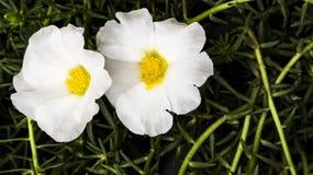 Άσπρο και καθαρό λουλούδι Στοκ εικόνα με δικαίωμα ελεύθερης χρήσης