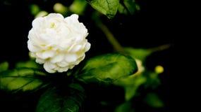 Άσπρο και καθαρό λουλούδι Στοκ εικόνες με δικαίωμα ελεύθερης χρήσης
