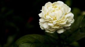 Άσπρο και καθαρό λουλούδι Στοκ Εικόνα