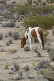 Άσπρο και καφετί άγριο άλογο χρωμάτων στοκ εικόνα