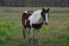 Άσπρο και καφετί άλογο στοκ εικόνα με δικαίωμα ελεύθερης χρήσης