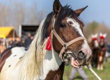 Άσπρο και καφετί επισημασμένο άλογο Στοκ Εικόνα