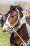 Άσπρο και καφετί επισημασμένο άλογο Στοκ εικόνες με δικαίωμα ελεύθερης χρήσης