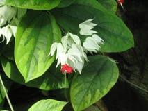 Άσπρο και κόκκινο λουλούδι στο έκθεμα πεταλούδων στο Μάντισον Στοκ Εικόνα