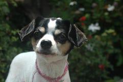 Άσπρο και μαύρο κοντό ομαλό μαλλιαρό θηλυκό Chihuahua φαίνεται αριστερό στοκ φωτογραφία