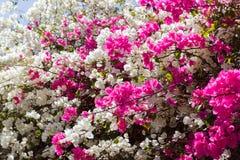 Άσπρο και ρόδινο υπόβαθρο λουλουδιών Bougainvillea Λουλούδι κήπων Στοκ Εικόνες