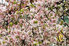 Άσπρο και ρόδινο όμορφο sakura ανθών κερασιών ομάδας κινηματογραφήσεων σε πρώτο πλάνο Στοκ φωτογραφία με δικαίωμα ελεύθερης χρήσης