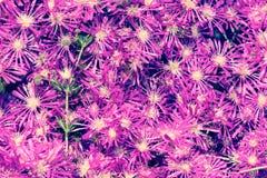 Άσπρο και ρόδινο Osteospermum Daisy ή υπόβαθρο λουλουδιών της Daisy ακρωτηρίων Στοκ εικόνες με δικαίωμα ελεύθερης χρήσης