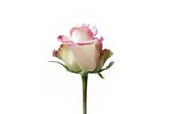 Άσπρο και ρόδινο καθαρό υπόβαθρο λουλουδιών Στοκ Φωτογραφία