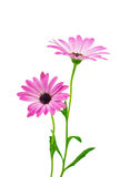 Άσπρο και ρόδινο Osteospermum Daisy ή λουλούδι λουλουδιών της Daisy ακρωτηρίων Στοκ φωτογραφίες με δικαίωμα ελεύθερης χρήσης