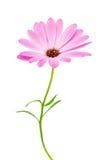 Άσπρο και ρόδινο Osteospermum Daisy ή λουλούδι λουλουδιών της Daisy ακρωτηρίων Στοκ Εικόνες