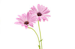Άσπρο και ρόδινο Osteospermum Daisy ή λουλούδι της Daisy ακρωτηρίων Στοκ φωτογραφία με δικαίωμα ελεύθερης χρήσης