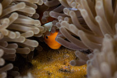 Άσπρο καπό Anemonefish και αυγά Στοκ Εικόνες
