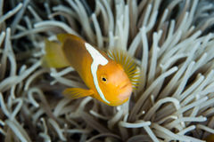 Άσπρο καπό Anemonefish και πλοκάμια Anemone Στοκ εικόνα με δικαίωμα ελεύθερης χρήσης