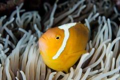 Άσπρο καπό Anemonefish και Anemone Στοκ φωτογραφία με δικαίωμα ελεύθερης χρήσης